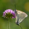 Mating Black-weined Whites
