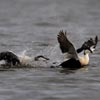 Common_Eiders
