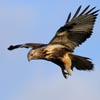 Rough-legged_Buzzard