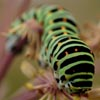 Swallowtail_Caterpillar